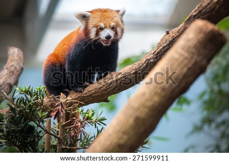 Red Panda sitting on a branch of a tree - stock photo