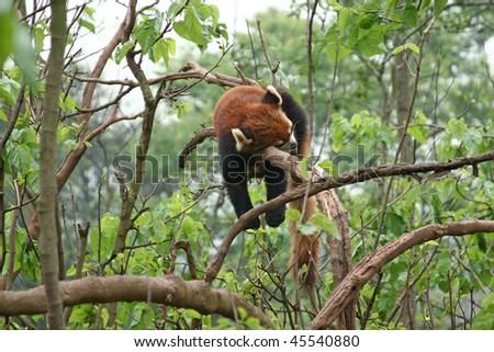Red panda sleeping in tree - stock photo