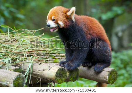 Red panda sticking out tongue - stock photo