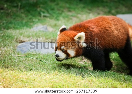 Red panda walking on grass - stock photo