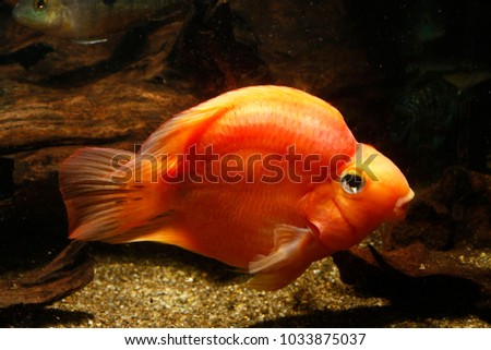 red parrot cichlid stock photo edit now 1033875037 shutterstock