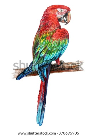 Red parrot  drawing. Ara chloropterus. Red-and-green macaw. Colored pencil drawing Ara red. Classic drawing Ara red. Detailed drawing Ara red. - stock photo