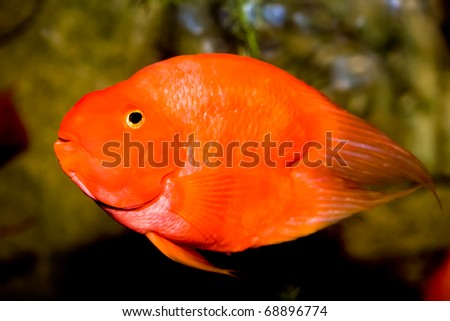Red parrot fish - stock photo