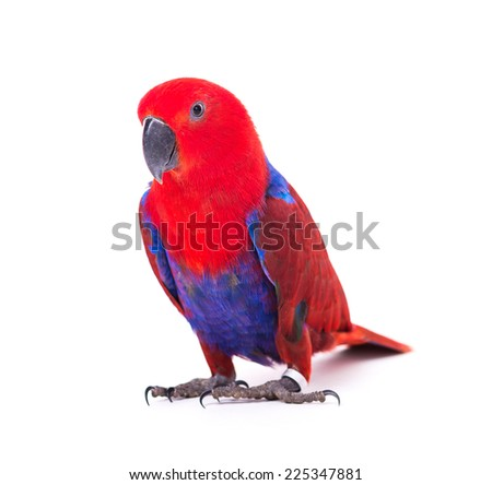 red parrot macaw isolated on white background - stock photo