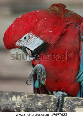 Red parrot sitting on the branch. - stock photo