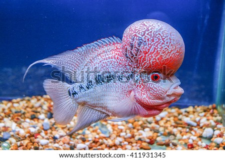 Red pearl cichlid flowerhorn cross breed fish in blue aquarium tank