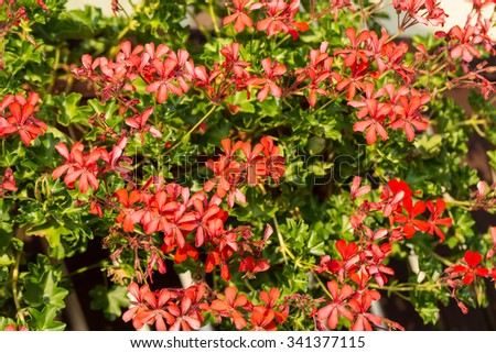 Red pelargonium (geranium) flower, blooming in a garden - stock photo