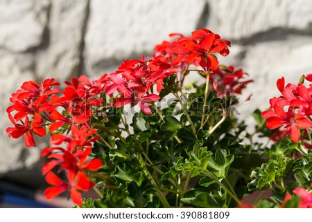 Red pelargonium (geranium) flower, blooming in a garden - stock photo