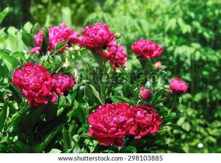 red peonies in summer garden - stock photo