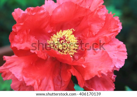 Red Peony flower,closeup of beautiful red flower in full bloom in the garden in spring - stock photo