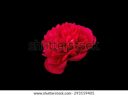 Red peony flower isolated on black - stock photo