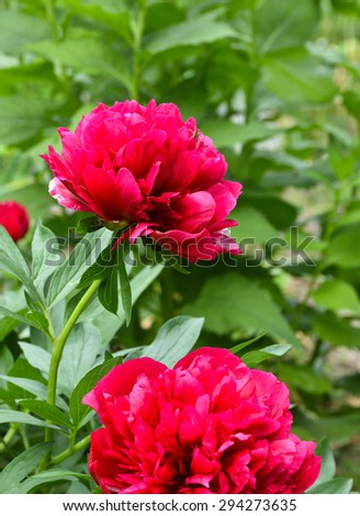 Red peony flowers. Blooming peonies on a spring green background in the garden.