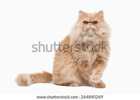 Red persian cat on white background - stock photo