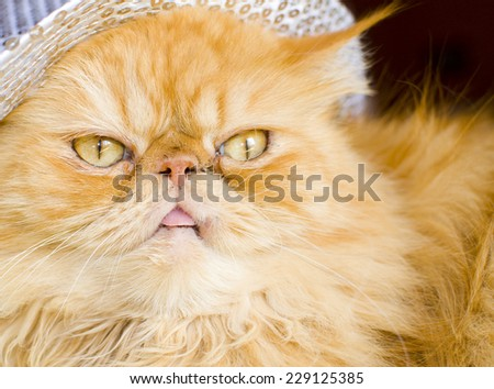 Red persian cat with hat - stock photo