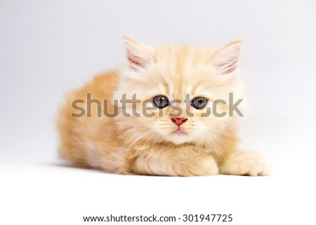 red persian kitten on a white background