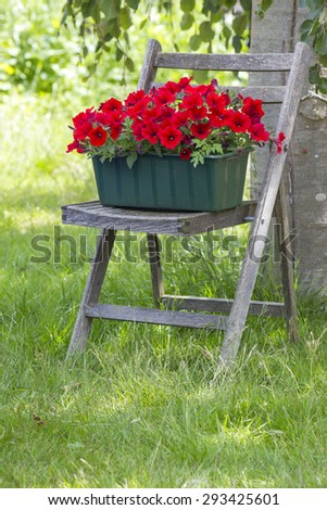 red petunia flowers on old chair in the garden