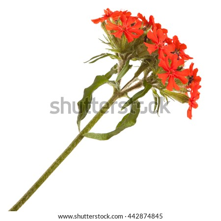 red phlox flower. isolated on white background - stock photo