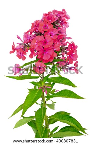 Red phlox isolated on white background - stock photo