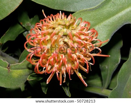 Red Pincushion Protea flower in Africa - stock photo