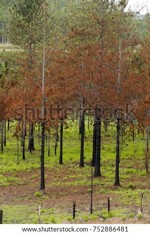 Red pines, with dry leaves, contrasting with the exuberant green grass