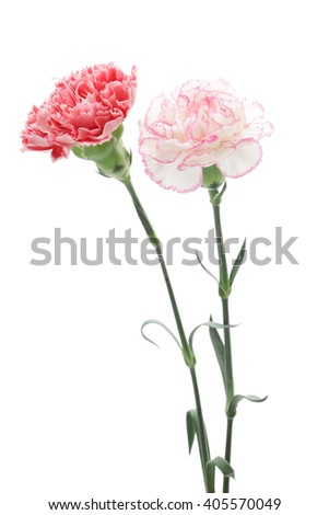 Red pink carnation isolated on white background