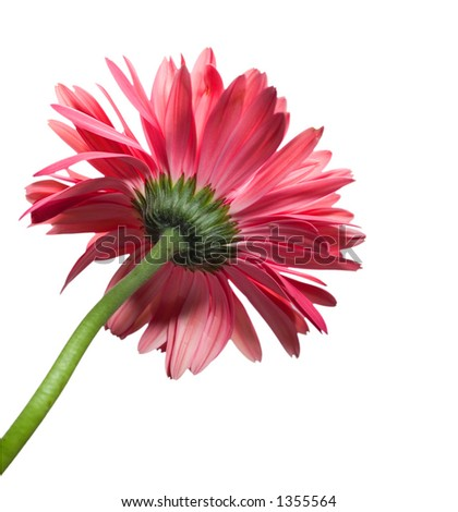 Red/Pink daisy from behind isolated on white - stock photo
