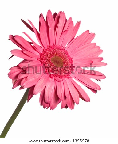 Red/Pink Gerbera Daisy isolated on white - stock photo
