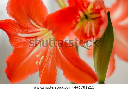 red pink gladiolus on a white background