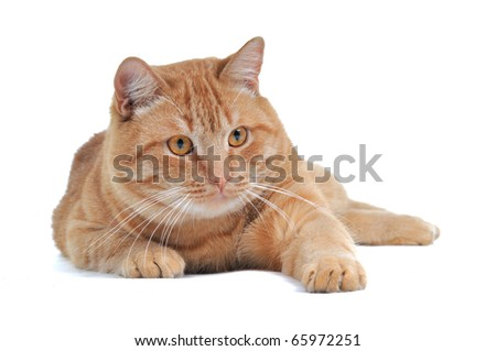 Red playful Kitten with a paw in front