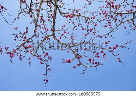 Red plum flower in blossom,China - stock photo