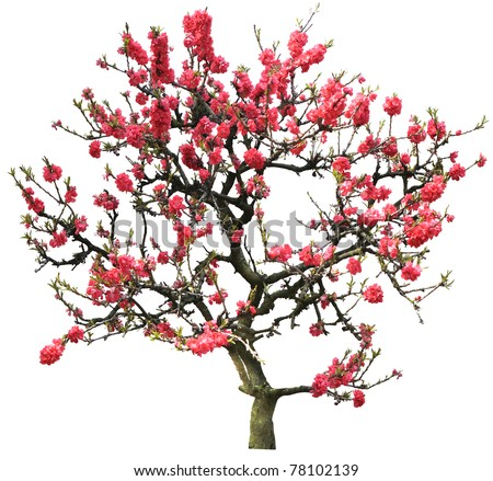 red plum flower tree isolated on white - stock photo