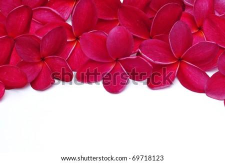 Red Plumeria flower - stock photo