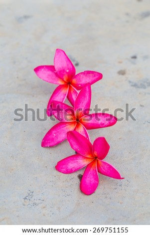 Red Plumeria spp. (frangipani flowers, Frangipani, Pagoda tree or Temple tree) on bright sunlight. - stock photo