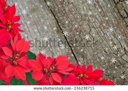 red poinsettia and snow. Christmas flower on wooden background - stock photo