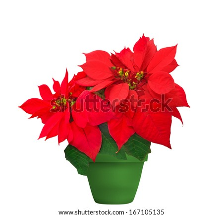 red poinsettia. beautiful christmas flower in green flowerpot on white background