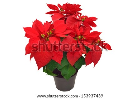 red poinsettia. beautiful christmas flower on white background  - stock photo