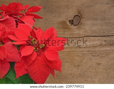 red poinsettia. Christmas flower on wooden background