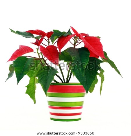 Red Poinsettia - christmas flower - Poinsetia Pulcherrima