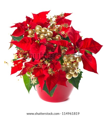 red poinsettia. christmas flower with golden decoration on white background - stock photo