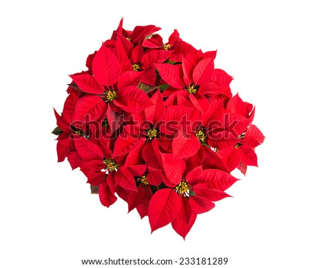 Red poinsettia (Euphorbia pulcherrima) flower, top view, isolated on white