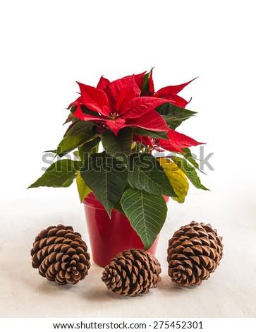 Red poinsettia  (Euphorbia pulcherrima) in red flowerpot and three pine cones - stock photo