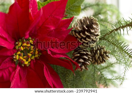 Red Poinsettia flower; Christmas decorations; Christmas tree branch with red poinsettia flower on white background - stock photo