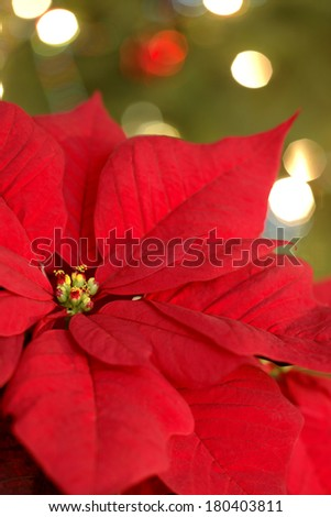 Red poinsettia flower with green background   - stock photo