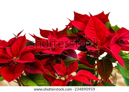 Red poinsettia flowers in bloom with lights