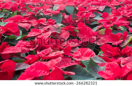 Red poinsettia flowers in the garden. - stock photo