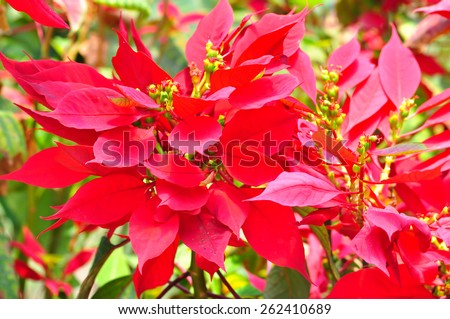red poinsettia flowers or christmas star with sun light in summer - stock photo