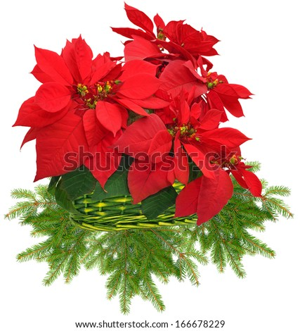 red poinsettia in green basket and christmas tree branch on white background