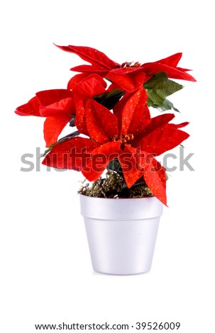 Red poinsettia, isolated on a white background. - stock photo