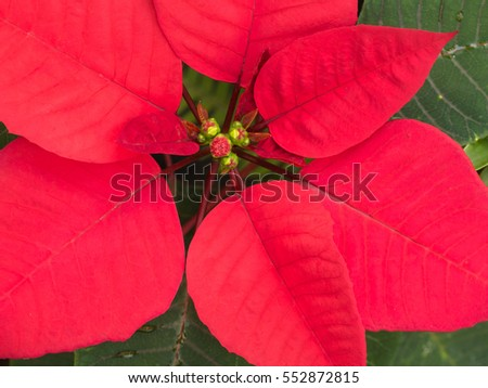 Red Poinsettia Leaves on The Ground