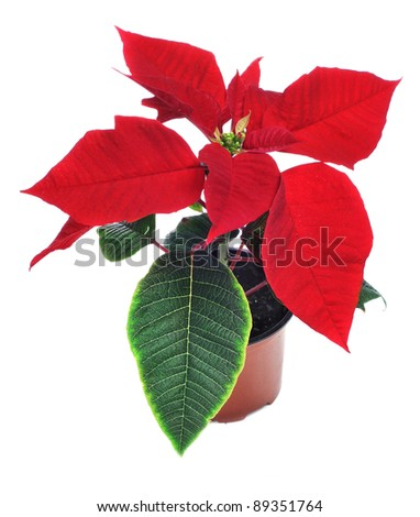 red poinsettia on a white background